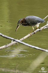 Héron vert / Green Heron - Butorides virescens (Éric et Synthia) Tags: héron vert green heron butorides virescens sentierforestia moulinseigneurialdepointedulac québeccanada photographie photography nature quebec canada d7500 apsc nikon 70300mm oiseau bird faune wildlife animal