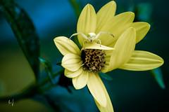 ambush (Armin Synek) Tags: ambush flower blume bokeh spider spinne misumenavatia veränderlichekrabbenspinne thomisidae hinterhalt
