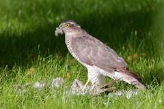 Sperwer (Accipiter nisus) (Nick Vollebregt) Tags: sperwer accipiternisus sparrowhawk épervier vogel gavilán sperber sparvhök