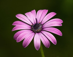 Dare to be Different (dshoning) Tags: flower pink petal macro