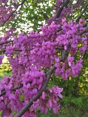 Cercis canadensis (Iggy Y) Tags: cerciscanadensis cercis canadensis spring blossom flower purple color flowers green leaves nature park plant kanadskijudić judić easternredbud redbud sunny day light