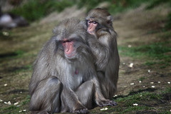Japanese macaque (Peter Trott) Tags: japanese macaque snowmonkey grooming bonding monkey