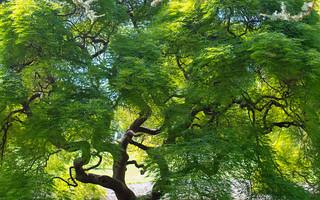 Thread-Leaf Japanese Maple ~ Hershey Gardens