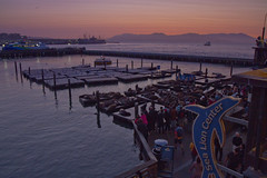 Sea Lions at Sunset (brucetopher) Tags: twilight sunset evening waterfront water sea ocean tour travel tourism tourist sanfrancisco bay marina wharf dock docks pier pier39 39 marine animal marineanimal seacreature creature wildlife bark noisy loud pod herd seal sealion float raft saltwater lagoon harbor people crowd spectators man woman children bunch group mammal boat boats