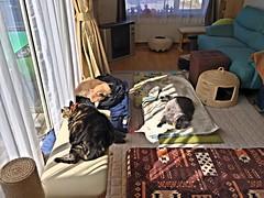 Post Matatabi Naps in the Sun (sjrankin) Tags: 19september2018 edited animal cat floor livingroom kitahiroshima hokkaido japan hdr bonkers argent norio tigger yuba matatabi