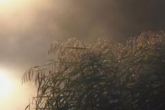 (decemberGirl.) Tags: sunlight morning lake fog foggy grass dew nature 50mm sunrise