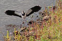Lapwing coming into land (vickyouten) Tags: lapwing nature wildlife canon canon1300d penningtonflash leigh vickyouten