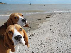 Clonage numérique !!! (François Tomasi) Tags: chiens chien dogs dog françoistomasi justedutalent beagle