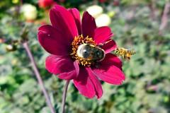 das wird wohl eine schwierige Landung (mama knipst!) Tags: insekt hummel biene dahlie dahlia blume flower fleur natur sommer august