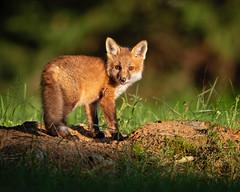 In the Spotlight... (DTT67) Tags: redfoxkit redfox fox kit spring canon 1dxmkii maryland den baby animal wildlife nature