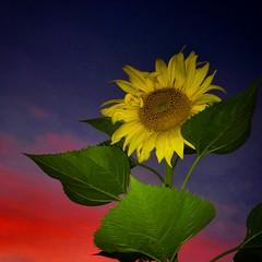 Sunflower sundown (Karol Franks) Tags: iphone seeds blooming socal inmygarden homegrown california pasadena flowersofinstagram yellow sky color sunset sunflower summer flower