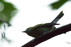 Chestnut-sided Warbler (KLoux) Tags: chestnutsidedwarbler