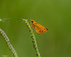 Climbing (that_damn_duck) Tags: nikon nature butterfly insect grass colorful wings