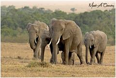 Only Elephants should own Ivory! (MAC's Wild Pixels) Tags: onlyelephantsshouldownivory elephant loxodontaafricana animal mammal wildlife africanwildlife wildafrica wildanimal wildlifephotography endangeredspecies criticallyendangered ivory tusks poaching safari gamedrive outdoors outofafrica savannahplains gentlegiants masaimara maasaimaragamereserve kenya macswildpixels specanimal coth alittlebeauty dc coth5 ngc npc fabuleuse