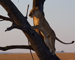 IMGP8144 Climbing Lion (Claudio e Lucia Images around the world) Tags: lion lioness tree climbing jump jumping serengeti tanzania africa cat bigcat feline savana sunrise pentax pentaxk3ii sigma sigma50500 bigma sigmaart pentaxart nationalgeographic africageographic animale erba cielo