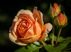 Rose (LuckyMeyer) Tags: flower fleur rose david austin apricot sun light garden green