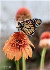 Boys I Released... (angelakanner) Tags: canon70d lensbaby sol45 monarch garden longisland closeup summer