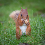 Competition: 18/09/2018 - PDI. League 1. Open. Red Squirrel Feeding by Richard White
