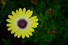 Optical Illusion in Nature (Royfir.photography) Tags: flower yellow green nature magnetic illusion