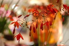 bloemen dagen 'D Evelaer (Erik Reijnders) Tags: heemskerk nikond300 bloemen