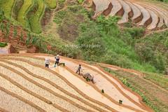 _J5K0858.0617.Lao Chaỉ.Mù Cang Chải.Mù Cang Chải. (hoanglongphoto) Tags: asia asian vietnam northvietnam northwestvietnam landscape scenery vietnamlandscape vietnamscenery terraces terracedfields transplantingseason sowingseeds hillside people landscapewithpeople canon canoneos1dsmarkiii hdr tâybắc yênbái mùcangchải phongcảnh ruộngbậcthang ruộngbậcthangmùcangchải mùacấy đổnước người phongcảnhcóngười sườnđồi mùcangchảimùacấy canonef70200mmf28lisiiusm ricceterracedinvietnam terracedfieldsinvietnam thehmong ngườihmông abstrat curve trừutượng đườngcong laochải