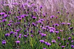 Nature's carpet :) (eikeblogg) Tags: wildflowers naturephotography botanic flora floressalvajes natureza coloroso colored purple green meadow plants beautyofnature eifel pentaxphotography latesummer ngc