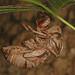 Cicada exuvia, Carderock Park, Carderock, Maryland