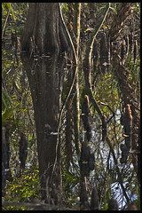 Lake Woodruff #4 2012; Cypress Swamp (hamsiksa) Tags: florida volusiacounty deland lakewoodruffnationalwildliferefuge saintjohnsriverbasin saintjohnsriver swamps marshes cypressswamp baldcypress taxodiumdistichum wetlands landscape reflections reflectionsinwater wetreflections water freshwater blackwater