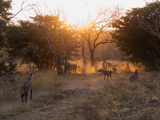 Chobe Hyenas 0106
