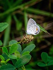 Orange Dots (Portraying Life, LLC) Tags: dbg6 da3004 hd14tc k1mkii michigan pentax ricoh unitedstates butterfly closecrop handheld nativelighting deanroad meadow perched thatch
