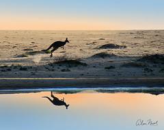 Kangaroo Reflection (caralan393) Tags: kangaroo bounding lake reflection morning sunrise eden