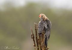 IMG_7694 Gila Woodpecker - LN - Carpintero Desértico - Copala, Sinaloa, Mexico - June 2018 (Saad Towheed Photography) Tags: gila woodpecker carpintero desértico copala sinaloa mexico bird beak feather wing