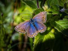 Silver Studded Blue Butterfly - Female. (hemlockwood1) Tags: silver studded blue insects orange wild butterflies yellow spots lepidoptera wings eye bosherston pembrokeshire wales