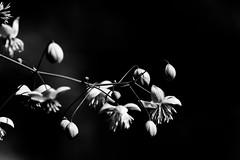 Delicadeza (María Bellet Fotografía) Tags: naturaleza flor blancoynegro flower nature black white delicate delicado sutle sutil sutileza