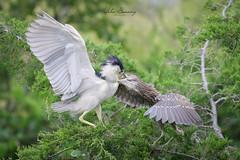 Black Crowned Night Heron (johnbacaring) Tags: audubonnj audubon blackcrownednightheron heron wildlife birds birding nature chick feeding canon audubonsociety newjersey jerseyshore
