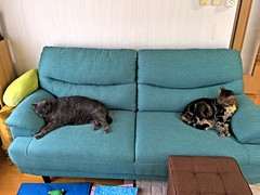 Sharing the Couch, Sort of (sjrankin) Tags: 25august2018 edited kitahiroshima hokkaido japan animal cat yuba tigger hdr couch livingroom