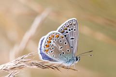 Bläuling IV (Marcus Hellwig) Tags: bläuling lycaenidae schmetterling makro macro mariposa detail natur nature