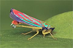 Red Banded Leafhopper (Small Creatures) Tags: closeup d40 graphocephala iscogottingen nikond40 nikon telewestanar diffuser diopters diy leafhopper reversemounting repurposing lenshacking