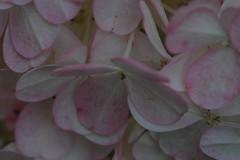 DSC_0007 (adamsshawn390) Tags: hydrangeas flowerwatcher