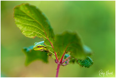 Another Tree Frog... (RudyMareelPhotography) Tags: belgischlimburg belgium deteut europe europeantreefrog flanders gent ghent hasselt limburg zonhoven boomkikker heather landscape landscapephotography nikon purpleheather flickrclickx flickr ngc