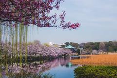 Ueno Park Sakura - Tokyo, Japan (inefekt69) Tags: japan tokyo sakura cherry blossoms flowers nature spring hanami nikon d5500 日本 東京 さくら 桜 花見 ueno ueon park 上野 上野公園
