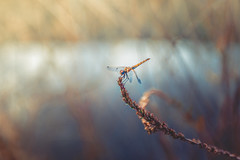 Dragonfly (Ro Cafe) Tags: sonya7iii dragonfly nature animal insect closeup river water selectivefocus blur bokeh naturallight beautiful pastelcolours nikkor2470f28