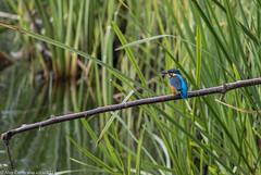 9Q6A2843 (2) (Alinbidford) Tags: alancurtis brandonmarsh kingfisher nature wildbirds wildlife