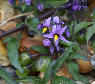 Bittersweet Woody Nightshade (Solanum dulcamara) Shoreham Beach 22.6.2018 (1)