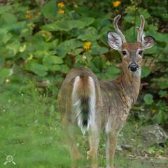Young Buck-3003 (NWPaddler) Tags: 2018 nikon pa pennslyvania summer wildlife animals buck deer rack velvet yard