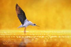 黑翅长脚鹬 (KevinBJensen) Tags: 白昼 动物 一只动物 自然物 户外 鸟 摄影 无人 反射 野生动物 鸟类 自然美 生态