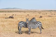 looking at both sides (Just me, Aline) Tags: 201808 alinevanweert kenia kenya masaimara safari wildlife zebra gnoe wildebeest wildebeast