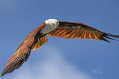 Brahminy Kite (Haliastur Indus) - Fly High (My Pixel Magic) Tags: bird birdinflight birdphotography wildlife wildlifephotography wild eagle outdoor nikond850 tamron150600mmg2