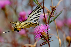 Flambé (jpto_55) Tags: papillon flambé proxi xe1 fuji fujifilm fujixf55200mmf3548rlmois hautegaronne france ngc
