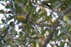 767A8089 (LindaSC) Tags: magnoliawarbler